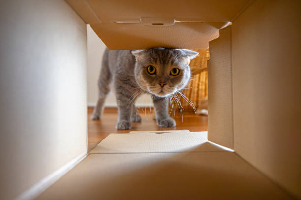Curious cat is looking at what's inside the cardboard box. British short hair cat.