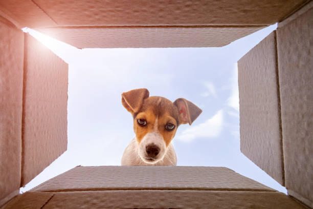Curious jack Russel Terrier dog is looking at what's inside the cardboard box